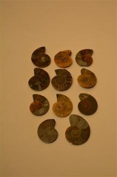 Ammonites 1